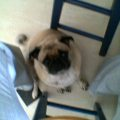 Pug @ Kitchen